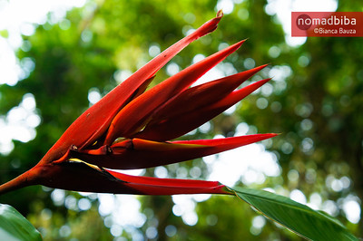Red flower in Costa Rica