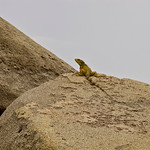 Iguana chilling on a boulder in Tayrona National Park (Colombia)