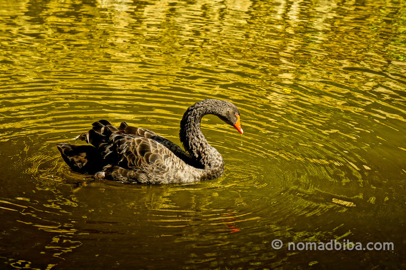 Black swan in the lake of the Pena Palace