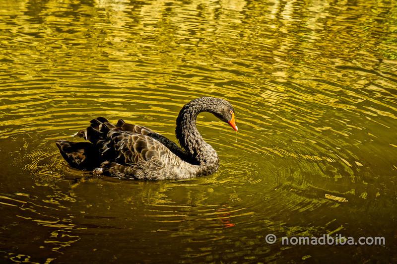 Cisne negro en el Palacio de la Peña en Sintra