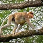 Proboscis monkey at the Apenheul in the Netherlands