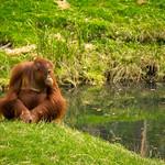 Orangutan at the Apenheul in the Netherlands