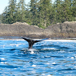 Whale saying hello For the story, check out my post:  Whale Watching in Tofino