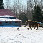 Horse charging at pit bull 