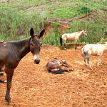 Mules chilling on a Sunday at Trapiche Gualanday near Yolombó in Colombia