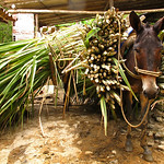 Mule waiting to be unloaded near Yolombó, Colombia