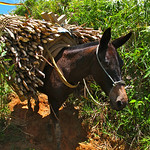 Mule carrying sugar cane near Yolombó, Colombia