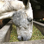 Mule eating after hard work day